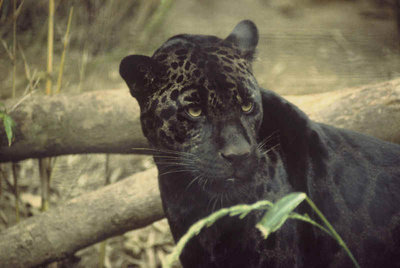 RN_Animal_Black_Panther_1.jpg